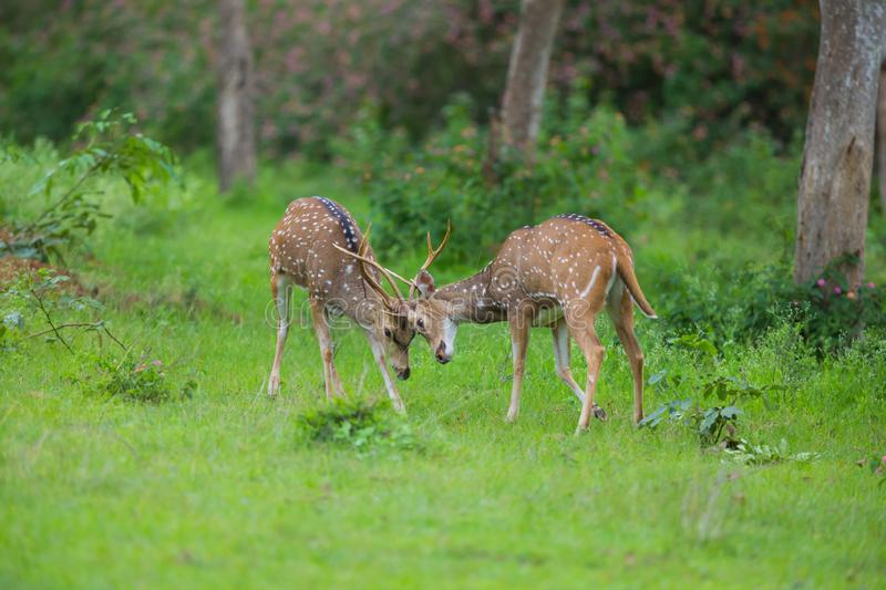 Axis deers fighting royalty free stock photos
