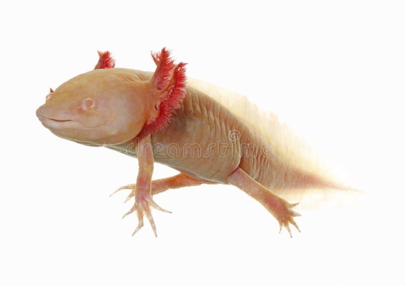 Axolotl stock afbeeldingen