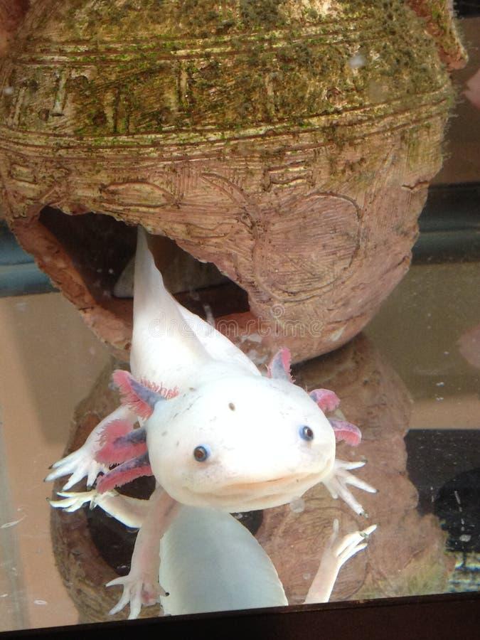 axolotl стоковое фото rf