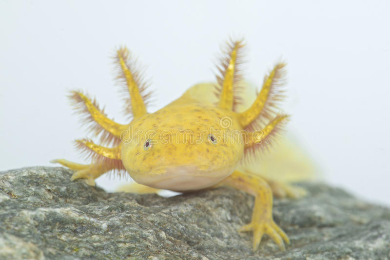 Axolotl (Ambystoma mexicanum) stockbild