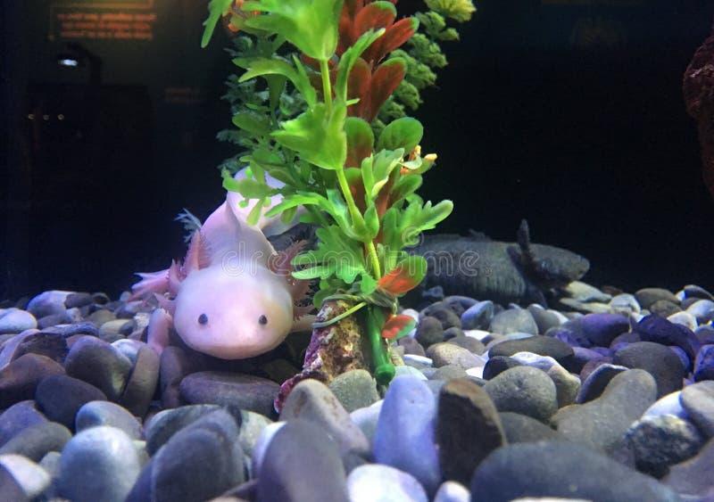 Axolotl i fishbowl arkivbilder