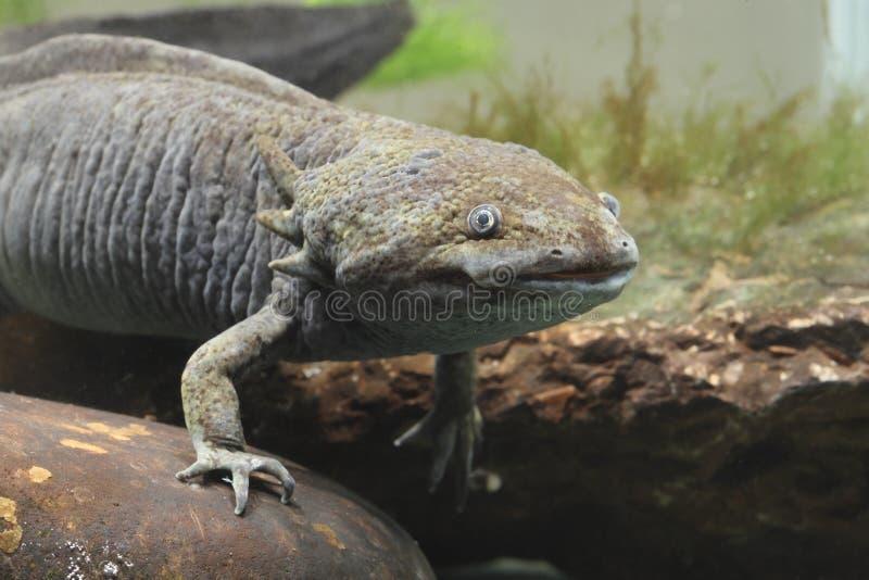 Axolotl, mexicanum di ambystoma immagini stock libere da diritti
