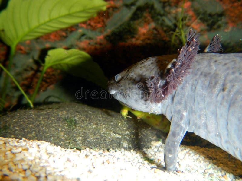 Axolotl onderwater royalty-vrije stock afbeeldingen