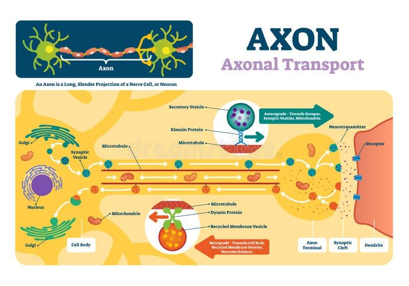 Axonvektorillustration Märkt diagram med förklaring och strukturen royaltyfri illustrationer
