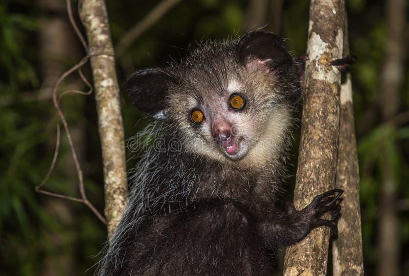 Aye-aye, nocturnal lemur of Madagascar royalty free stock photos