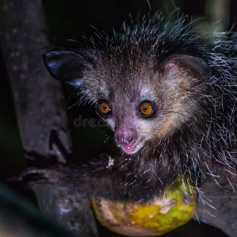 Aye-Aye Lemur royaltyfri fotografi