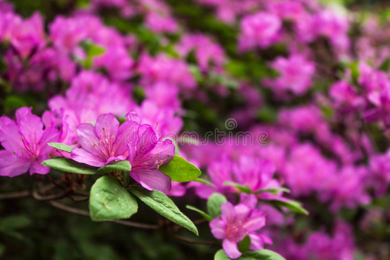 aye Ljusa och saftiga blommor på azaleabusken Blom- bakgrund med härliga blommor royaltyfria foton
