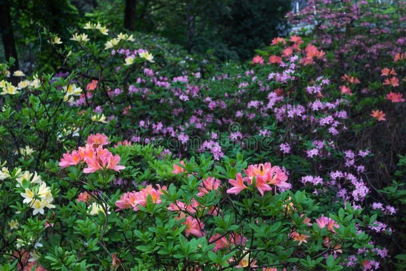 aye Ljusa och saftiga blommor på azaleabusken Blom- bakgrund med härliga blommor fotografering för bildbyråer