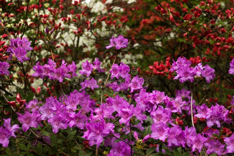 aye Ljusa och saftiga blommor på azaleabusken Blom- bakgrund med härliga blommor royaltyfri bild