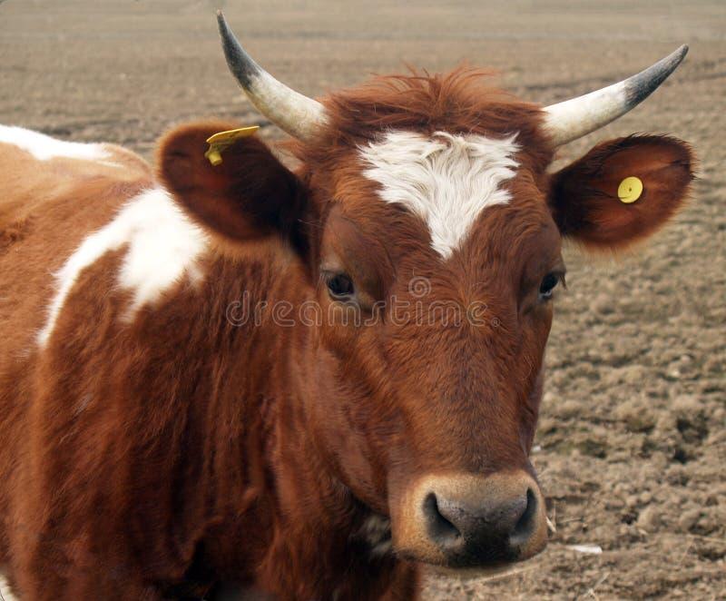 Ayrshire Vaars stock foto
