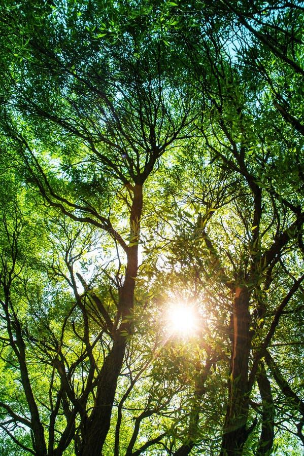 Ays de Sun que brilham através das árvores, fundo da natureza/phot vertical imagens de stock