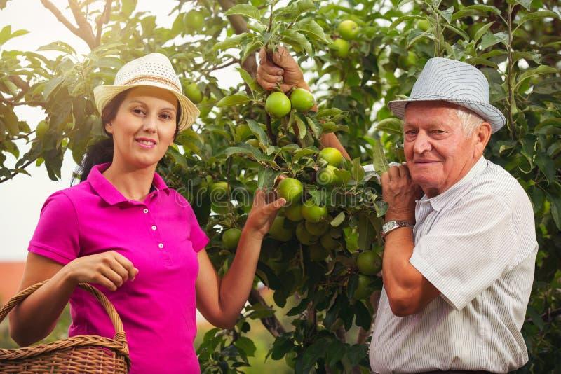 Ayuda de la mujer joven un viejo hombre en la huerta, escoger manzanas fotos de archivo