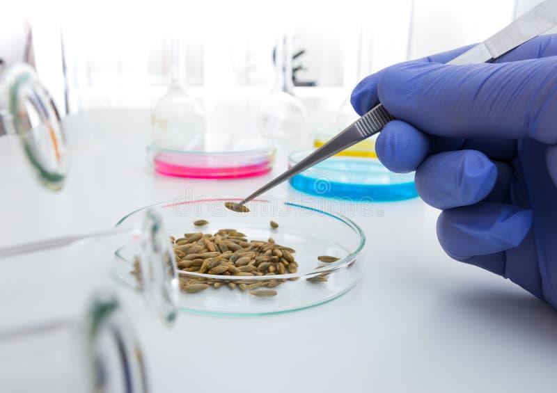 Ayudante de laboratorio en el laboratorio del valor nutritivo El análisis del cultivo celular a probar genético modificó la semil fotos de archivo libres de regalías