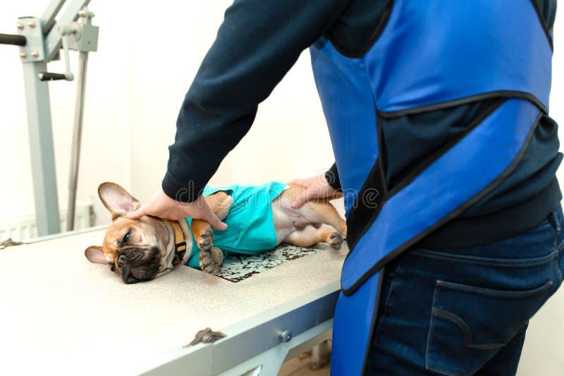 Ayudante veterinario en chaleco protector mantener para preparar el dogo francés para radiografiar la exploración foto de archivo libre de regalías