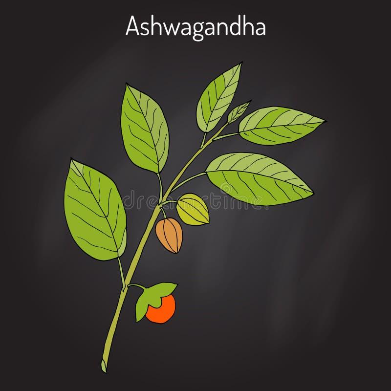 Ayurvedic Herb Withania somnifera som är bekant som ashwagandha, indisk ginseng, giftkrusbäret eller vinterkörsbäret stock illustrationer