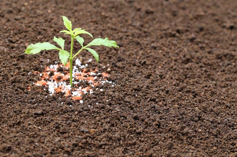 Ayurvedic Nishinda växt med kemisk gödningsmedel royaltyfri fotografi