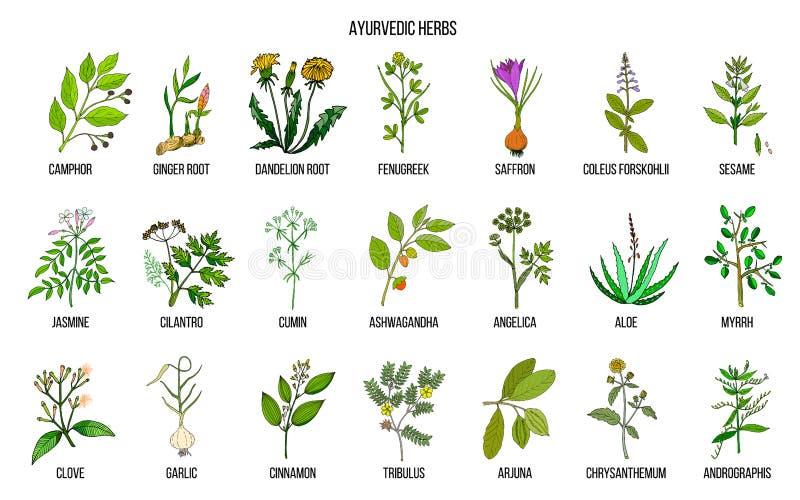Ayurvedic ziele, naturalny botaniczny set ilustracja wektor