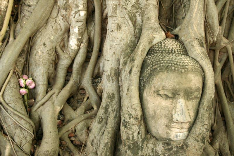 ayuthaya buddhas drzewo banyan głowę zdjęcia stock