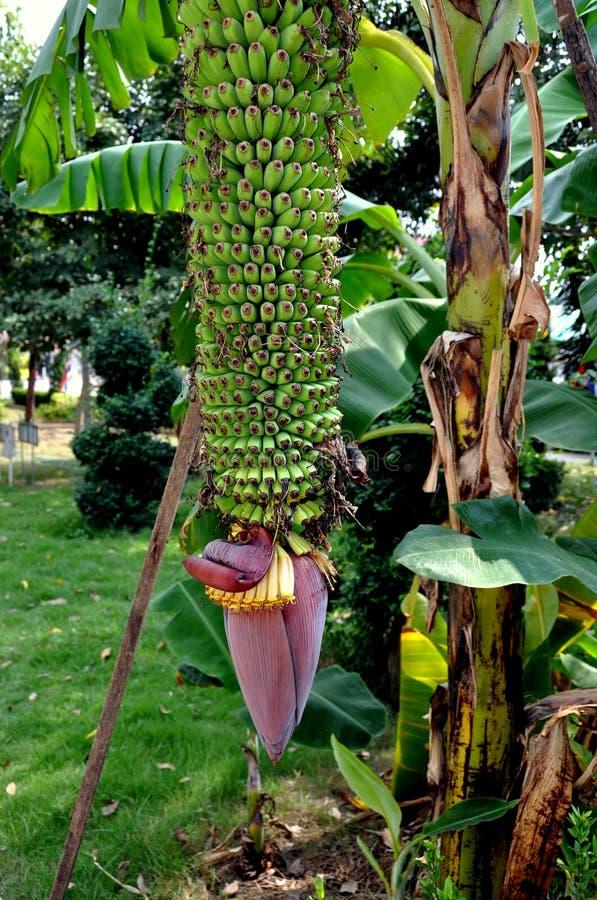 ayutthaya tail ndia bananas que crescem em uma rvore foto de stock imagem 17775460. Black Bedroom Furniture Sets. Home Design Ideas