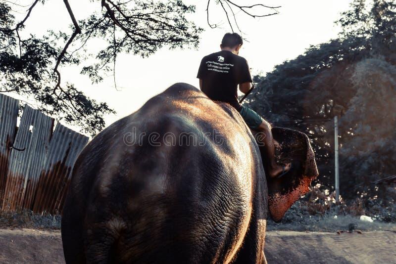 AYUTTHAYA TAJLANDIA, STYCZEŃ, - 2019: Trenery kończą kona kąpać się słonie w rzece w wieczór i bawić się z słoniem obraz stock
