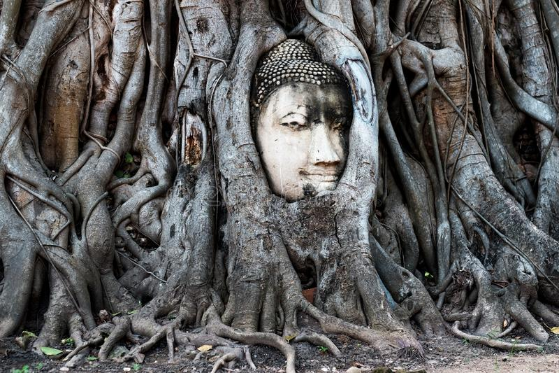 Ayutthaya, Thailand - October 31, 2017: Buddha face in Banyan tree and roots at Mahathat temple stock photos