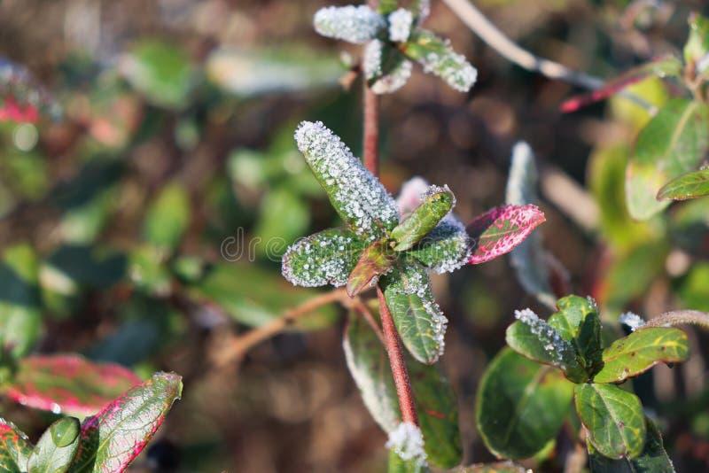 Azálea congelada com folhas vermelhas As primeiras geadas, o tempo frio, o tiro congelado do macro da água, da geada e da geada I fotografia de stock royalty free