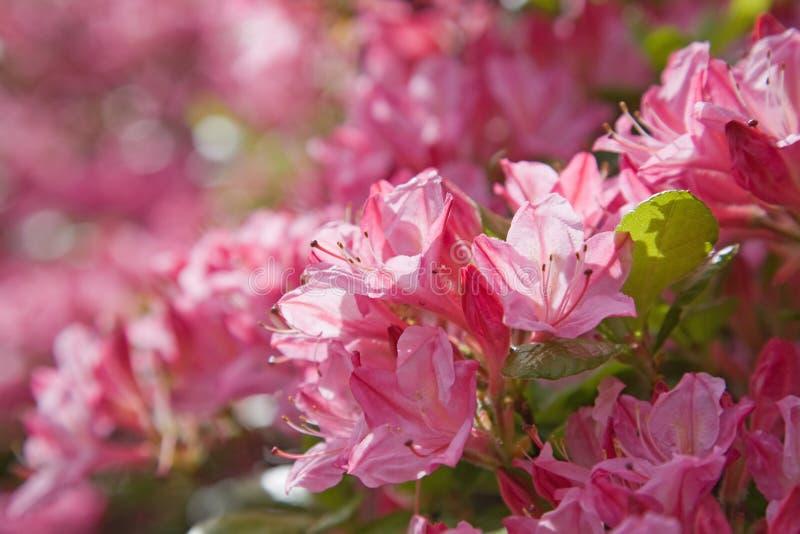 Azálea cor-de-rosa de florescência foto de stock royalty free