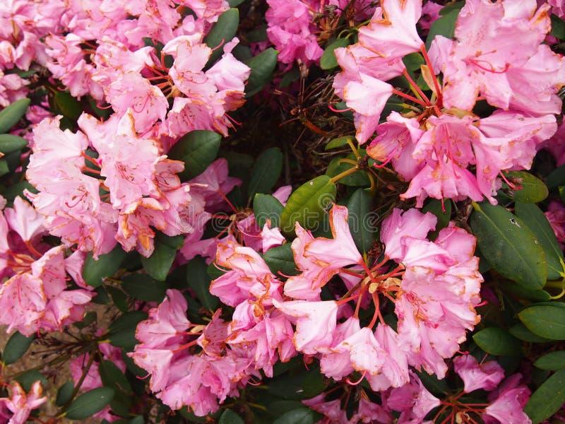 A azálea cor-de-rosa floresce o jardim dendrological de Glinna, Polônia, em maio de 2019 fotografia de stock