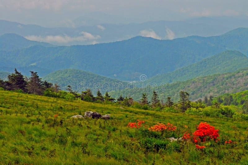 Azálea da chama que floresce em uma parte superior da montanha alta. fotografia de stock royalty free