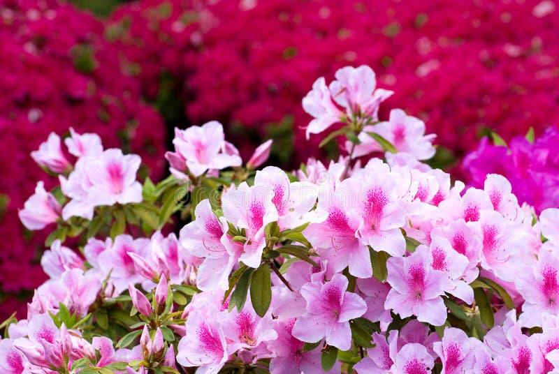 Azálea japonesa cor-de-rosa imagens de stock