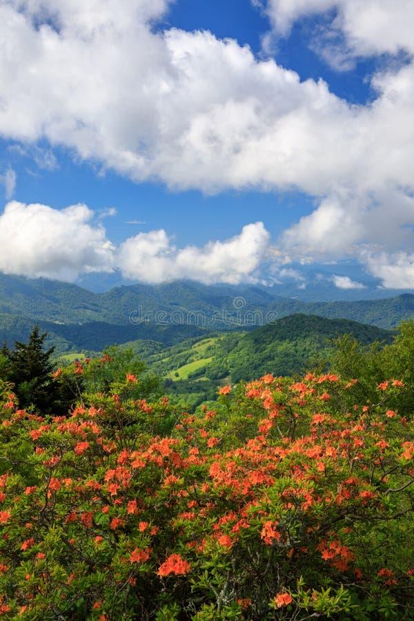 Azáleas alaranjadas Roan Mountain da chama fotografia de stock royalty free