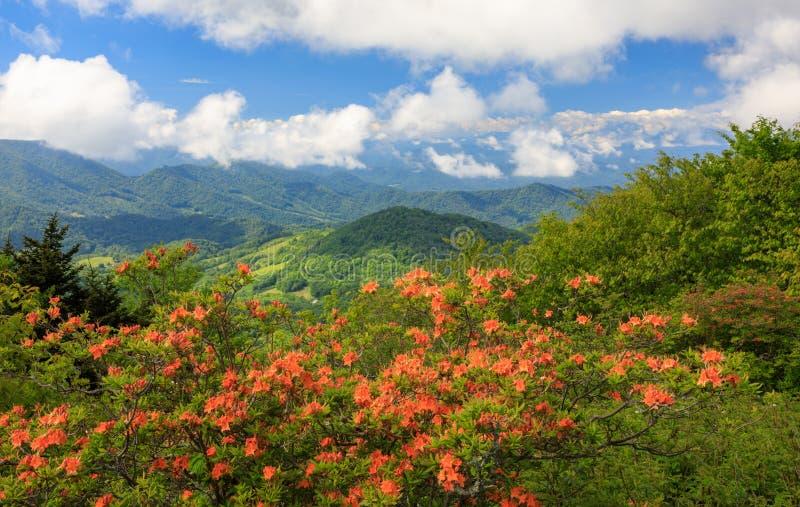 Azáleas alaranjadas Roan Mountain Highlands da chama imagem de stock royalty free