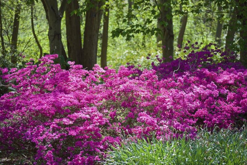 Azáleas cor-de-rosa imagens de stock royalty free