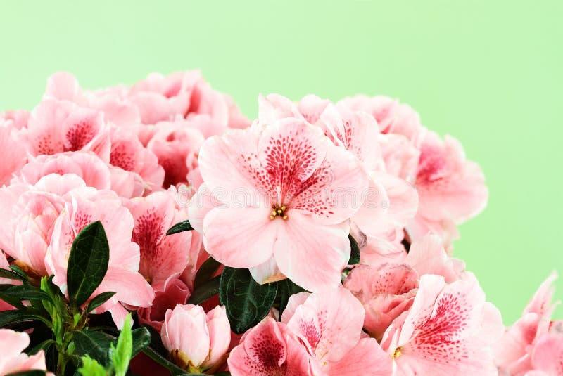 Azáleas cor-de-rosa imagens de stock