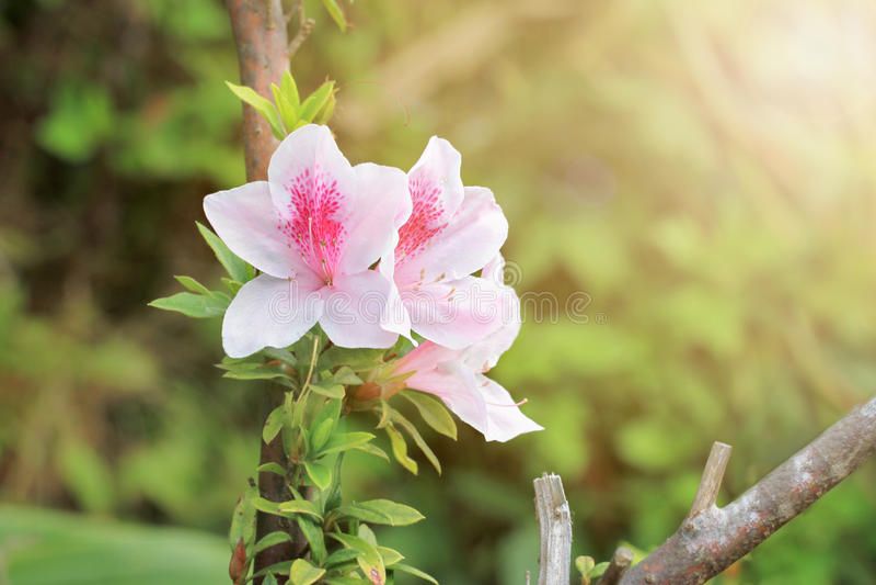 Azáleas cor-de-rosa no parque imagens de stock