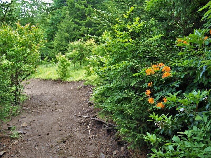 Azáleas da chama que florescem em Grayson Highlands State Park imagens de stock