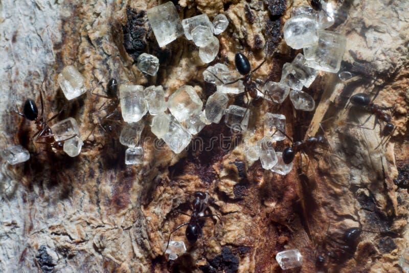 Azúcar del amor de las hormigas imagenes de archivo
