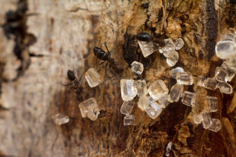Azúcar del amor de las hormigas fotografía de archivo