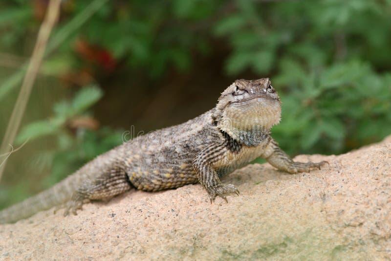 az pustynny jaszczurki magister sceloporus pustynny zdjęcia royalty free
