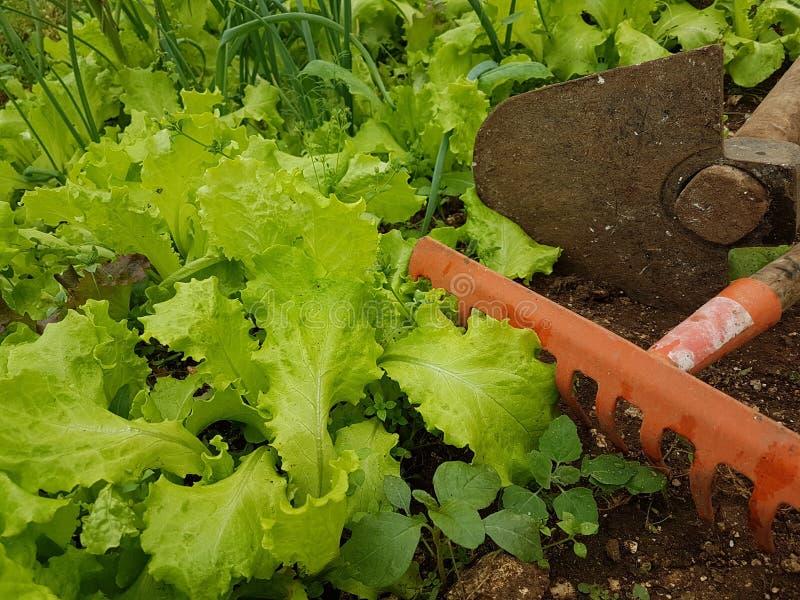 Azada del suelo de la tierra de la comida de las hojas de la agricultura de la lechuga foto de archivo libre de regalías