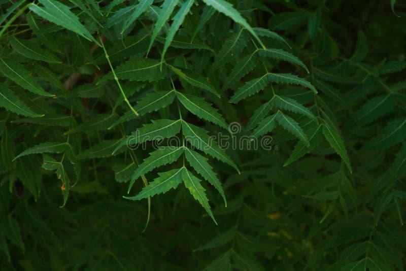 Azadirachta som ?r indica som gemensamt ?r bekant som neem, nimtree eller indierlila arkivbilder