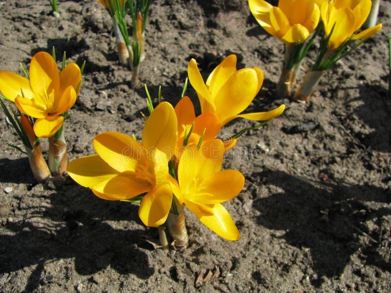 Azafrán amarilla en la primavera, la familia de las azafranes fotos de archivo libres de regalías