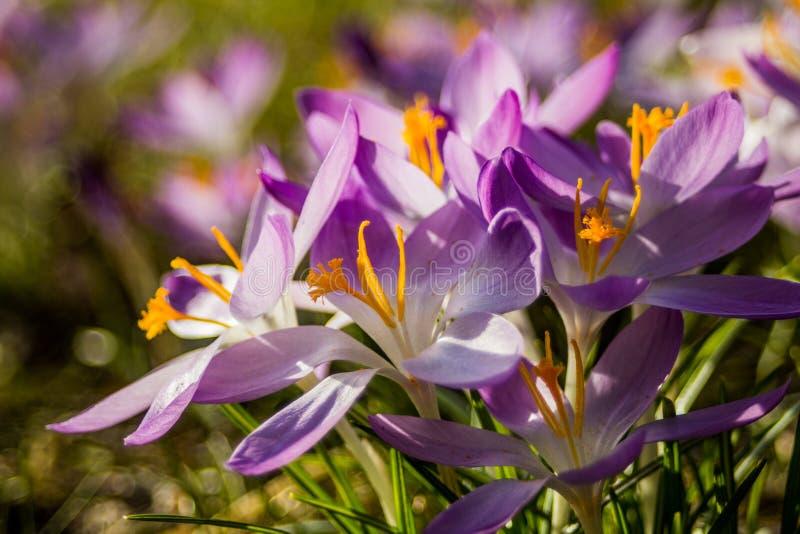 Azafrán, azafranes plurales o croci en ect rosado, violeta, azul, amarillo del extremo fotos de archivo