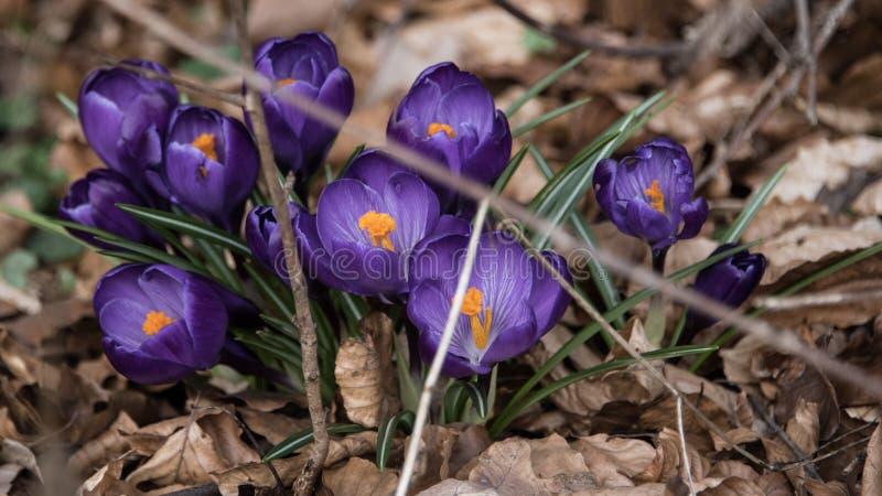 Azafrán azul en primavera foto de archivo
