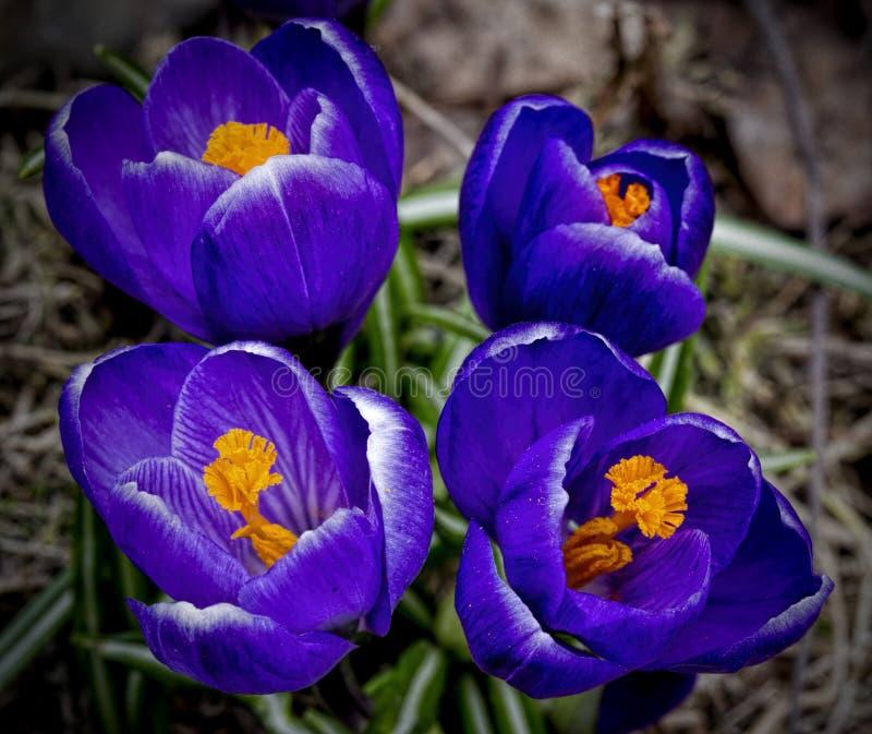 Azafrán azul, macro, cuatro flores imagen de archivo libre de regalías