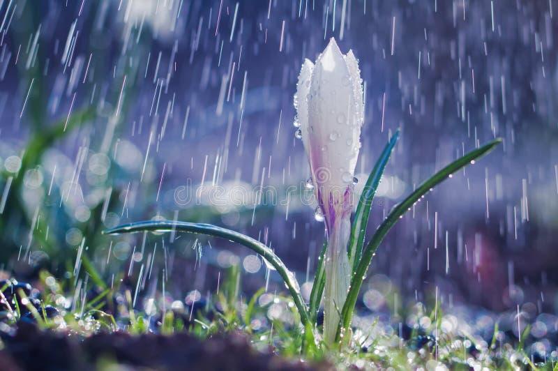 Azafrán blanca de la primavera hermosa en la lluvia de primavera imagen de archivo libre de regalías
