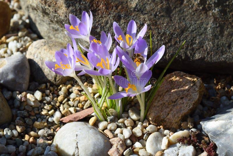 Azafrán con la abeja en primavera en un jardín fotos de archivo libres de regalías