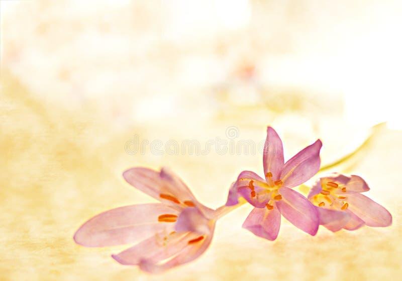 Azafrán de otoño imagen de archivo libre de regalías