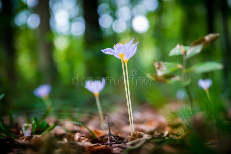 Azafrán de otoño del autumnale de Violet Colchicum, azafrán de prado, señora desnuda con el fondo borroso verde del bosque Hojas  imagenes de archivo
