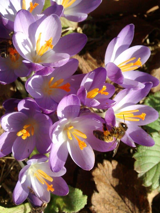 Azafrán de polinización de la primavera imágenes de archivo libres de regalías